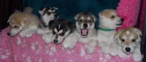 Jinx and Rubix puppies