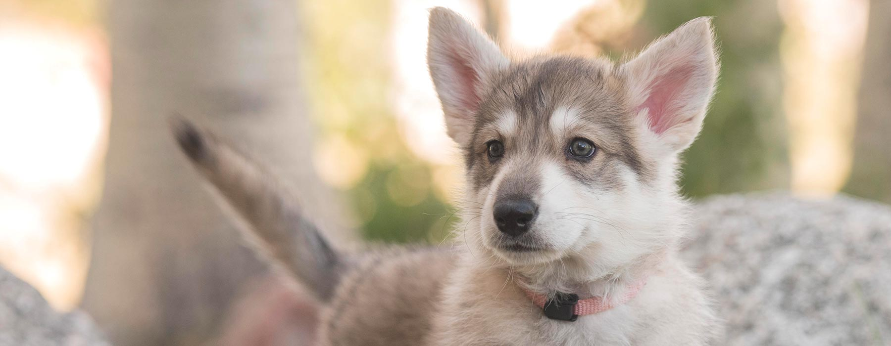 Northern Inuit Society | Dogs and Puppies | Home
